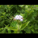 Purple mistflower
