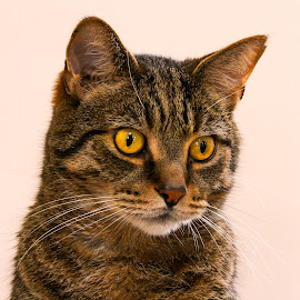 Tabby Portrait by Vicki Roebuck - Animals - Cats Portraits