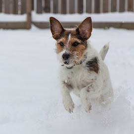 Found it! by Shawn Klawitter - Animals - Dogs Playing ( playing, winter, dogs, snow )