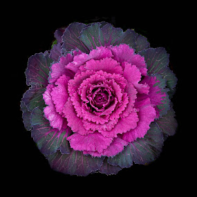 Ornamental Cabbage by Brenda Hooper - Flowers Single Flower ( plant, december, purple, cabbage, flowers,  )