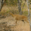 Four Horned Antelope