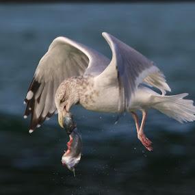 In-flight breakfast by Sandy Scott - Animals Birds ( gull, shore birds, fishing birds, seagull, water birds, birds, , bird, fly, flight )