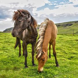 by Oddsteinn Björnsson - Animals Horses ( ólöf halla, fólk,  )