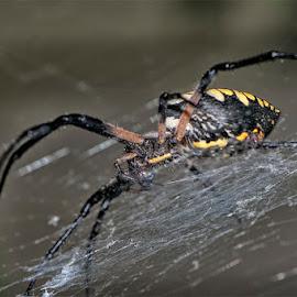 Expert Weaver by Gini Farnham - Nature Up Close Webs (  )