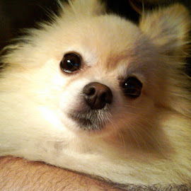 Bobo by Brandy Joiner - Animals - Dogs Portraits ( pets, dog, cream, close-up, pomeranian,  )