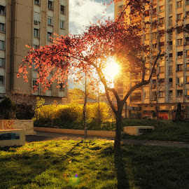 Street of cherry trees by Bojan Dzodan - City,  Street & Park  City Parks ( tree, park, serbia, belgrade, flower, city )