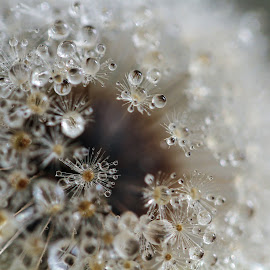 Silence by Lynne McClure - Nature Up Close Natural Waterdrops ( water, dandelion, macro photography, nature up close, seeds )