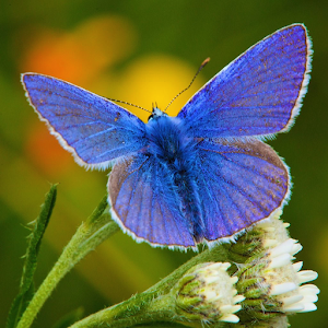 Butterflies of Britain Ireland
