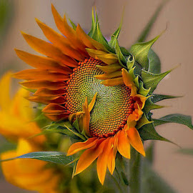 beautiful sunflower by John Kolenberg - Nature Up Close Gardens & Produce ( girasol, sunflower, backyard flowers, seeds, garden, color, colors, landscape, portrait, object, filter forge, Hope )