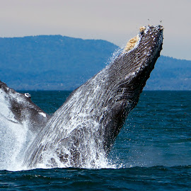 Humpback Whale breaching by Wade Tregaskis - Animals Sea Creatures ( humpback, breach, barnacles, breaching, fin, whale )