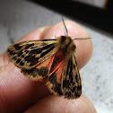Crimson Tiger Moth