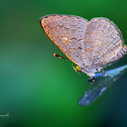 Oriental Apefly