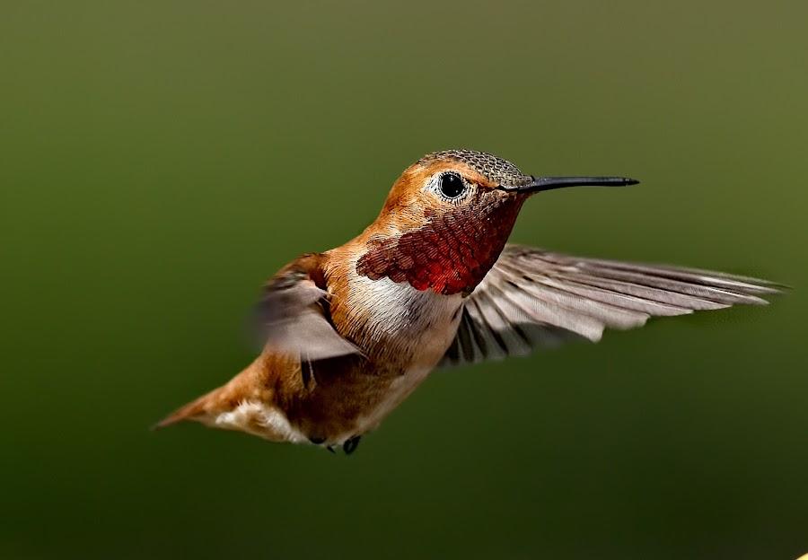 Hummingbird 4 by Sheldon Bilsker - Animals Birds ( bird, flight, nature, hummingbird, animal,  )