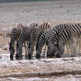 Zebras at the watering hole by Martin Lee - Novices Only Wildlife ( zebra, namibia )
