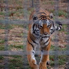 by Mandy Wyatt - Animals Lions, Tigers & Big Cats