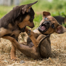 by Mitat Özkan - Animals - Dogs Playing (  )