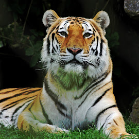 Tiger by Nikki Wilson - Animals Lions, Tigers & Big Cats ( big cat, nature, tiger, portrait, animal,  )