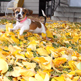 Romping Thru The Leaves by Brian Robinson - Animals - Dogs Puppies