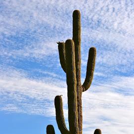 by Kathleen Koehlmoos - Landscapes Deserts ( gorgeous cactus, pretty cactus, deserts, cactus )