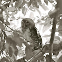 Spotted Wood - owl