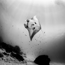 manta ray by Catalin Ienci - Animals Sea Creatures ( ray, reef, underwater, black and white, manta, sea, ocean )