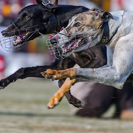 Ferocious by KP Singh - Sports & Fitness Other Sports ( punjab, kila raipur, dogs, racing, ludhiana )