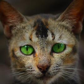 by Yudha Portugal - Animals - Cats Portraits