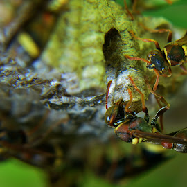 Up close and dangerous by Muhd RidzuanGom Ridzuan - Nature Up Close Hives & Nests
