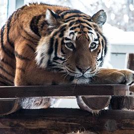 Tiger by Andrius Mezelis - Animals Lions, Tigers & Big Cats ( big cat, zoo, tiger, stripe,  )