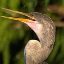 Anhinga Snake bird