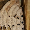 Organ-pipe mud dauber nests
