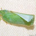 Flatid Hopper