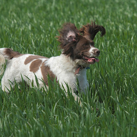 Pippa by Steve Adams - Animals - Dogs Running ( playful, spaniel, pippa, ears, dog )