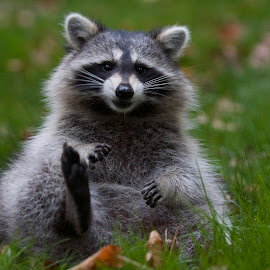 Racoon by John Mahaney - Animals Other