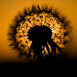 Little Dandelion by Carlos Reyes - Nature Up Close Leaves & Grasses