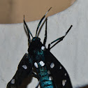 Polka Dot Wasp Moth