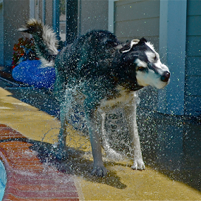 by Deena Zeidler - Animals - Dogs Playing (  )