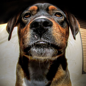 Stip by Zeljko Secujski - Animals - Dogs Portraits ( face, gazda, pas, ozbiljan, portret, boss, dog )