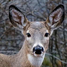 So Perfect by Barbara Brock - Animals Other Mammals ( doe; deer; white-tail deer,  )