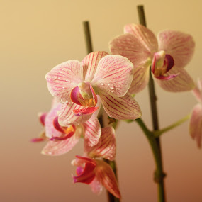 Orchids by Javier Luces - Flowers Single Flower ( nature, orchids, colors, plants, house, garden )