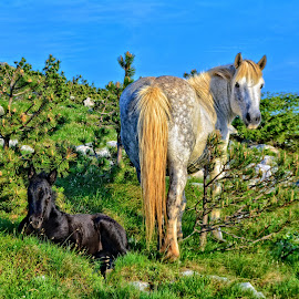 The mare and foal by Borna Ćuk - Animals Horses ( mare, foal, animal )