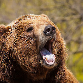 North American Brown Bear by Paul Brown Jr. - Animals Other Mammals (  )