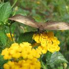 Mariposa, Achlyodes