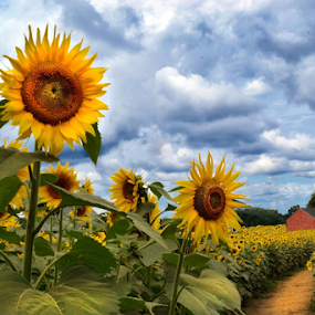 Sunnies at Buttonwood Farms by Corinne Noon - Flowers Flower Gardens ( clouds, sunflowers, august, landscape )