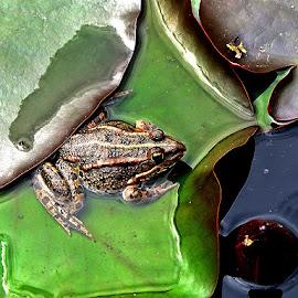 Žabica,sakrivena u lišću čekala, by Katica Pecigoš-Kljuković - Animals Amphibians