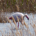 Greater Flamingo; Flamenco