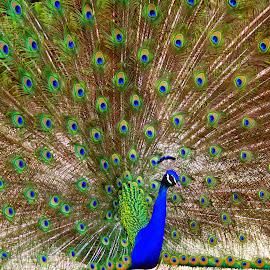 Peacock Dance by Lasanthica Fernando Benedict - Animals Birds ( love, mating, mate, dance, peacock )