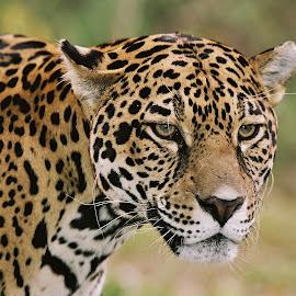 Jaguar portrait  by Paul Wyman - Animals Lions, Tigers & Big Cats ( jaguar, zoo, stone, massachusetts, animal )