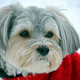 playing in the snow by Pam Satterfield Manning - Animals - Dogs Portraits ( winter, red, dogs, snow, portraits, animal,  )
