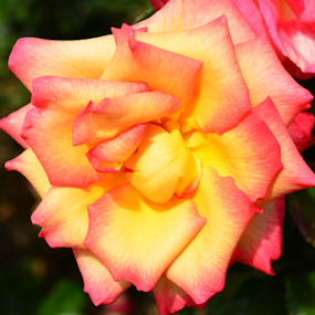 Yellow and coral rose by Del Candler - Flowers Single Flower ( rose, coral, bloom, pink, yellow )